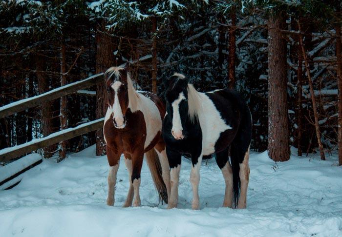 кони алтайской породы