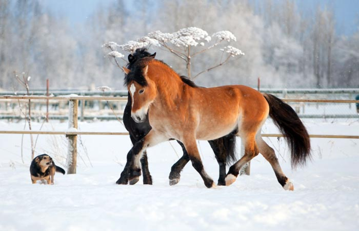 вороной и рыжий конь