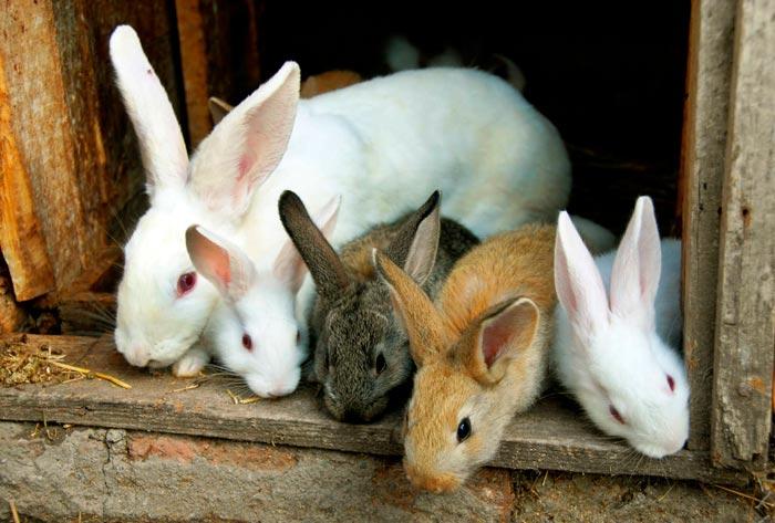 крольчата с крольчихой