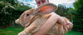 крупный кролик