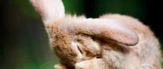 кролик чихает