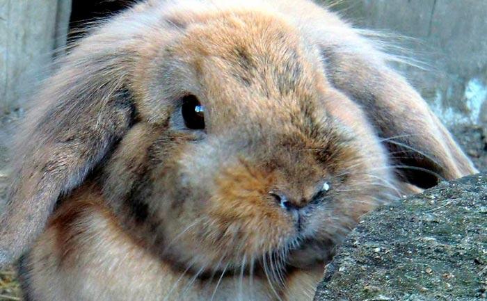 Почему декоративный кролик чихает