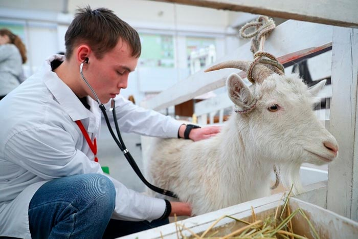 ветеринар осматривает козу