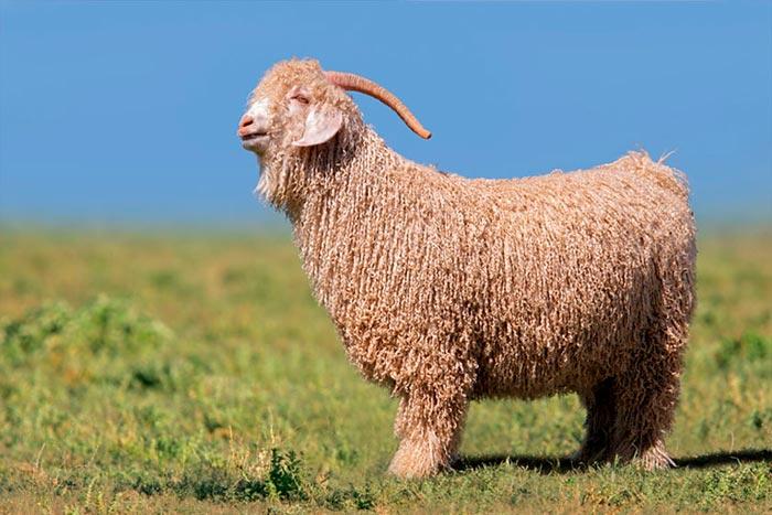 внешний вид ангорской козы