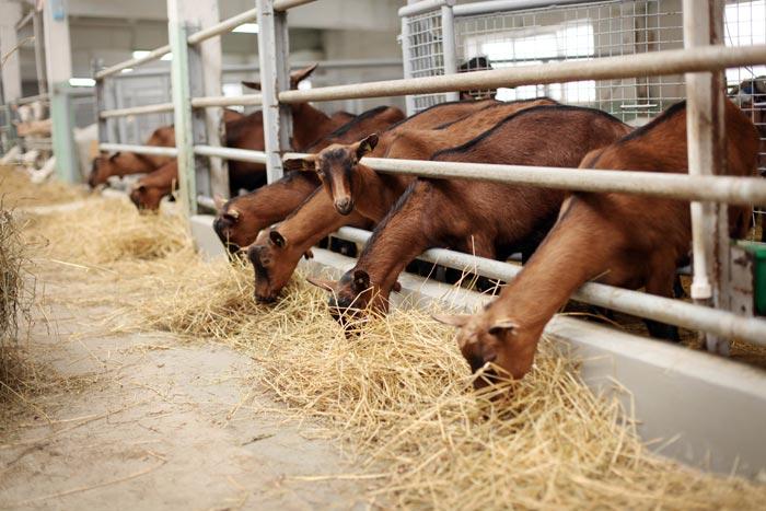 козы едят сено