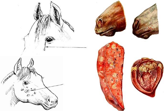 сап у лошадей