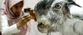 дамасский козел
