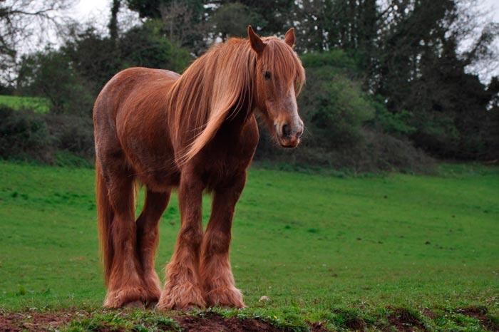 лошадь дестриэ