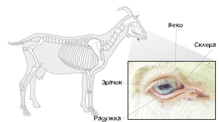 строение глаза козы