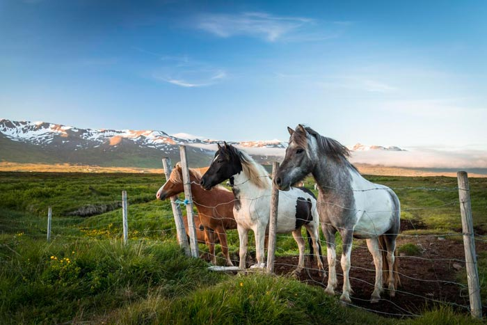 лошади в исландии