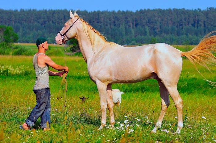 ахалтекинский изабелловый конь