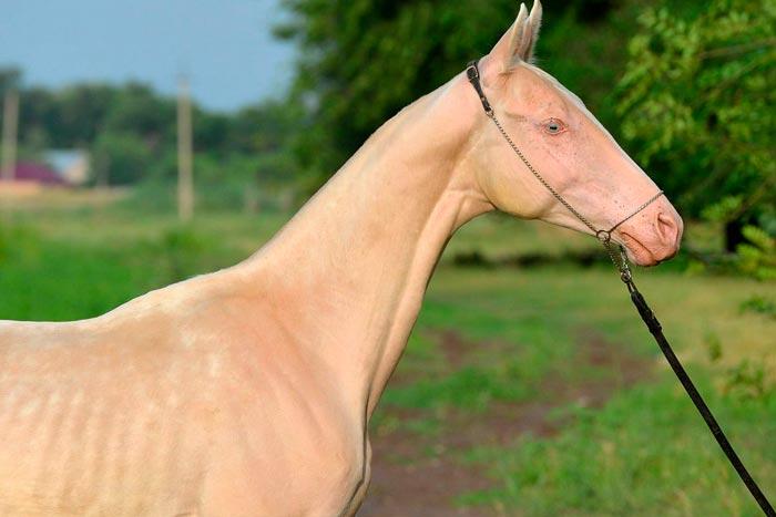 голубые глаза у лошади