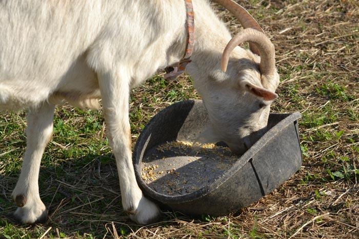 коза ест корм