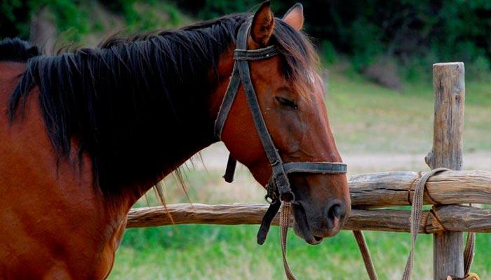 лошадь спит стоя
