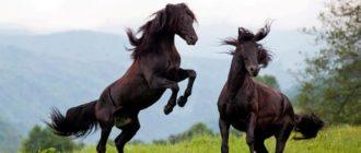 карачаевские лошади