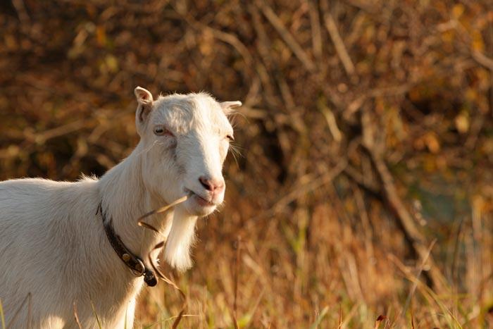 коза породы ламанча
