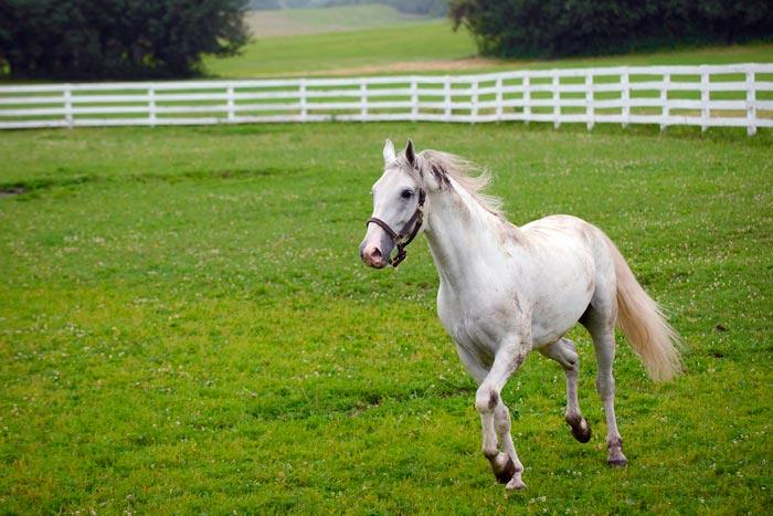 конь липпицианской породы