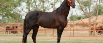 лошадь марвари