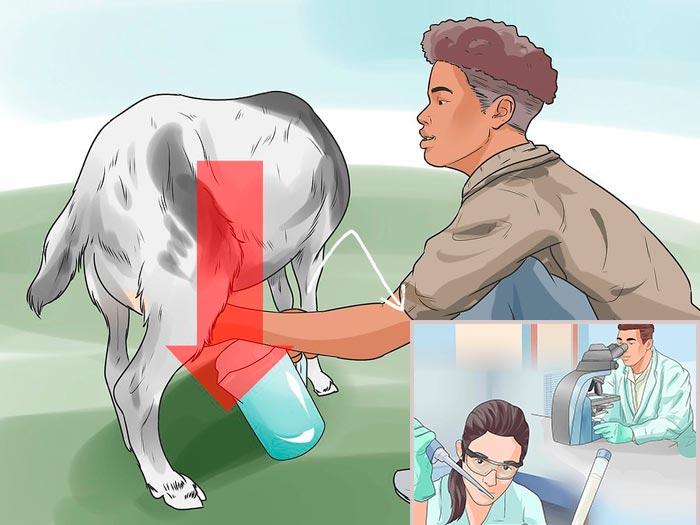 исследование козьего молока