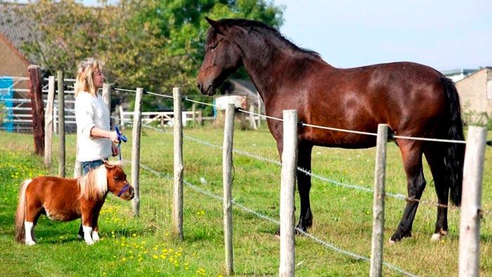 карликовая лошадь и большая