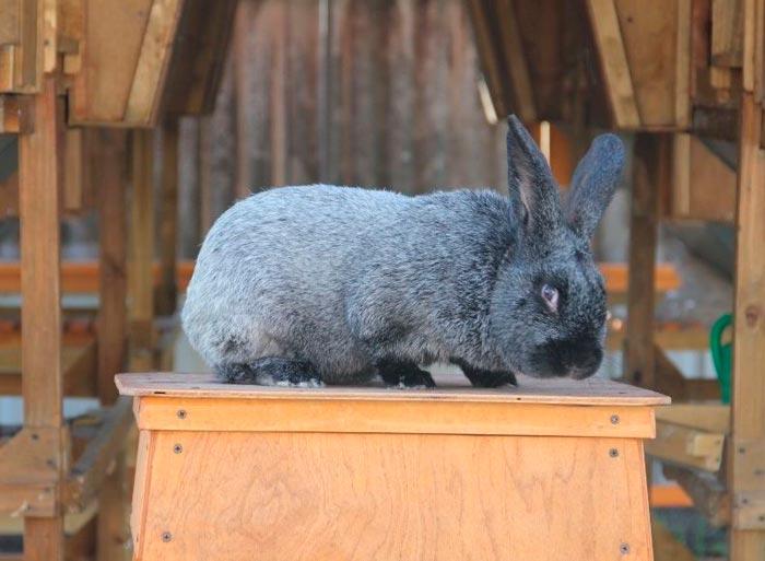 полтавский кролик