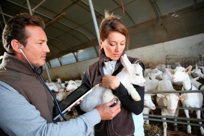 ветеринар осматривает козленка