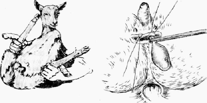 кастрация взрослого козла