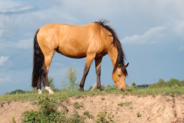буланная лошадь