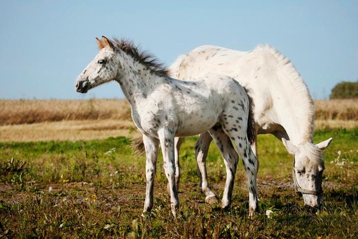 чубарые лошади