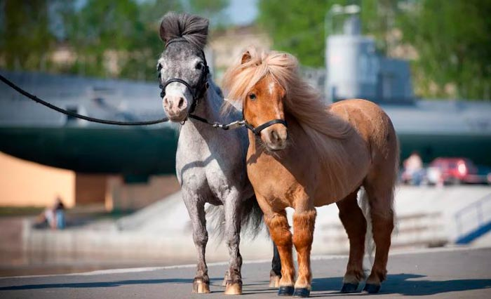 карликовые лошади
