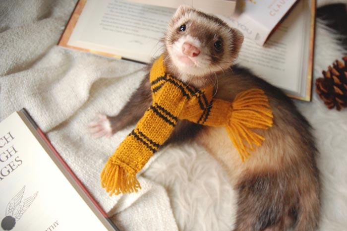 хорек в шарфе