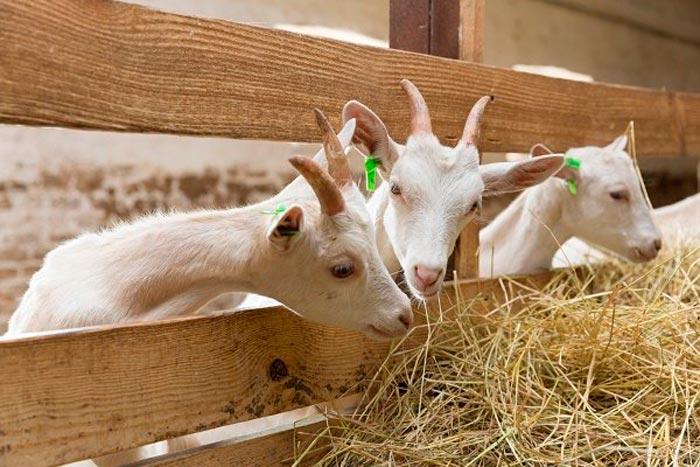 козлята едят сено