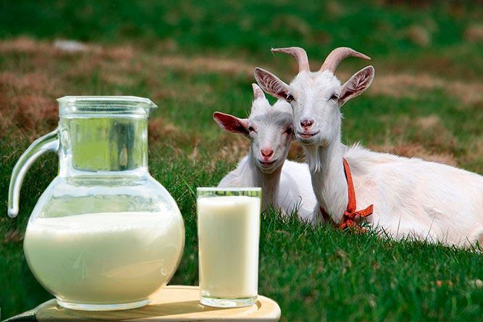 козы и молоко