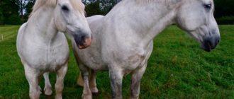 лошади першернон
