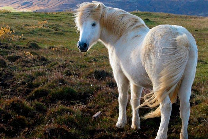 исландскй пони