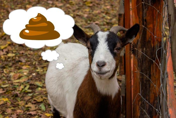 понос у коз