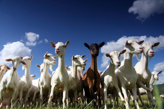 козы разных пород