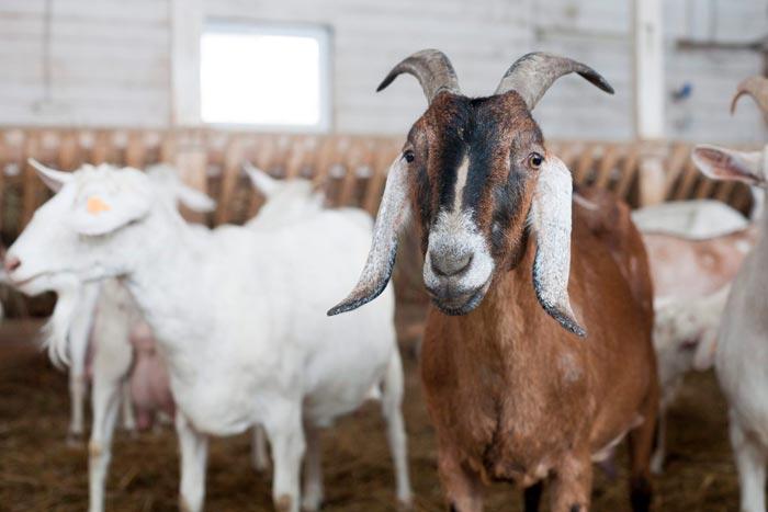козы на ферме