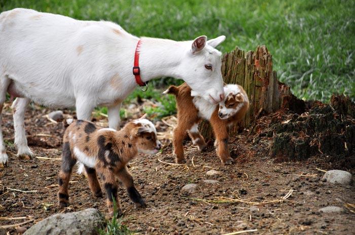 мини козы