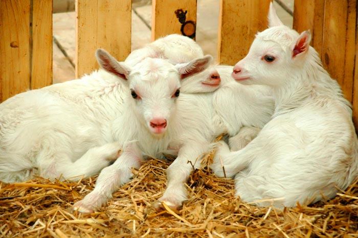 козы в козлятнике