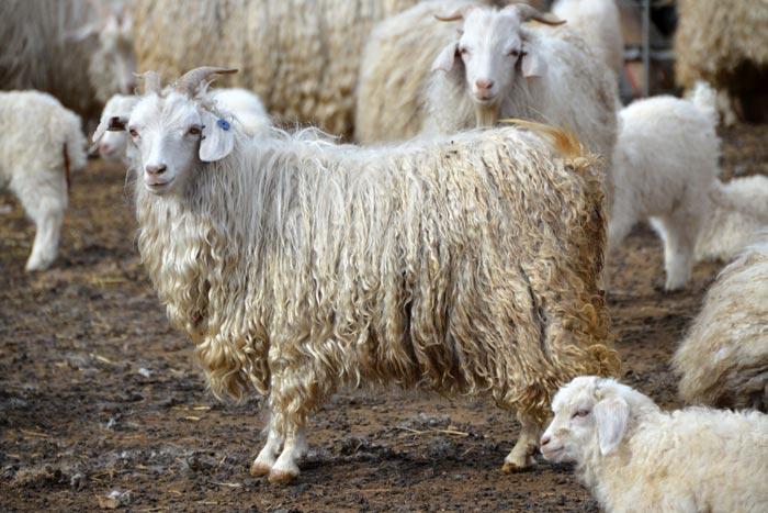 коза с длинной шерстью