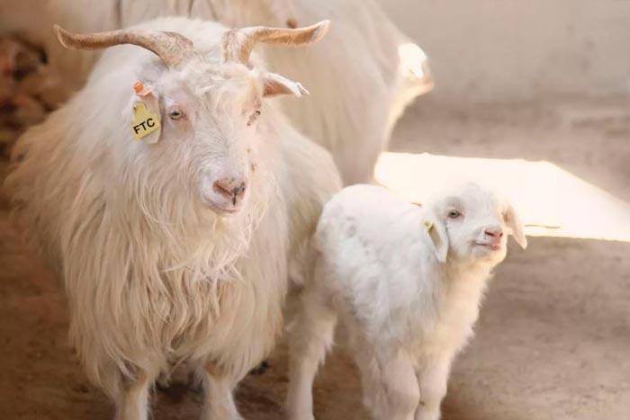 кашемировые козы