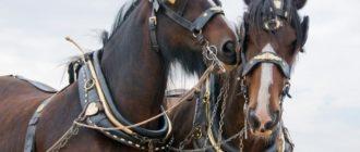 лошади в сбруе