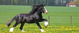 лошадь шайр