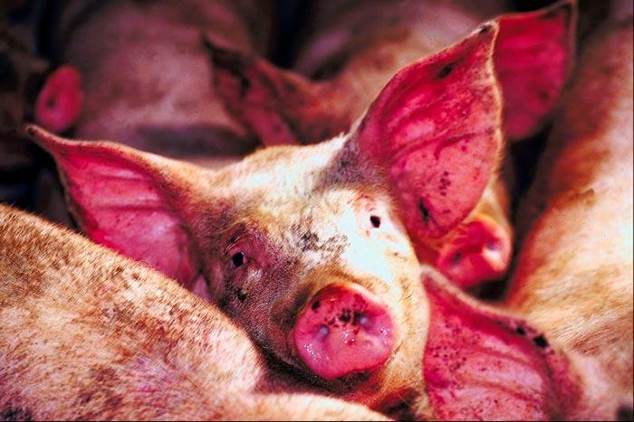 свиньи с чумой