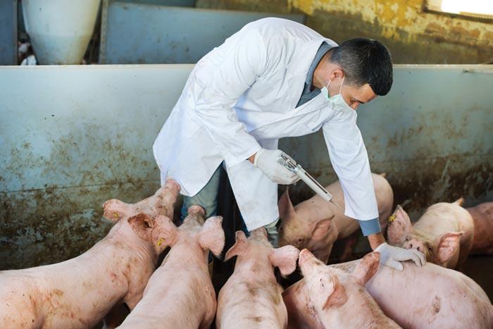 врач проверяет свиней