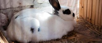 беременность у кролика