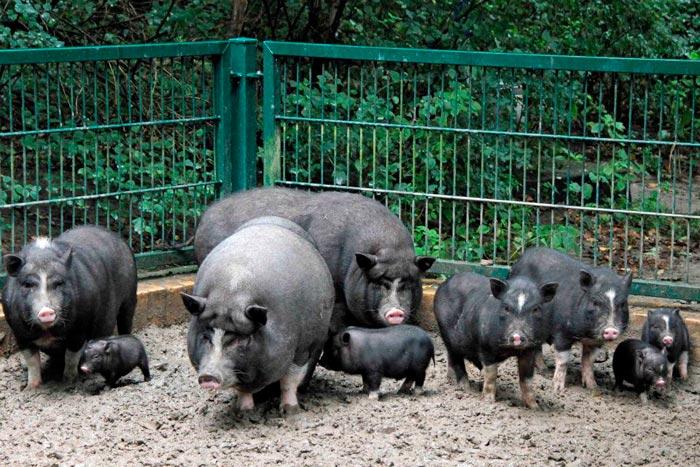 свиньи на прогулке