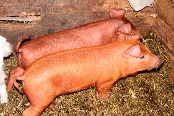 свиньи на соломенной подстилке