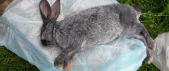 геморрагическая болезнь кролика